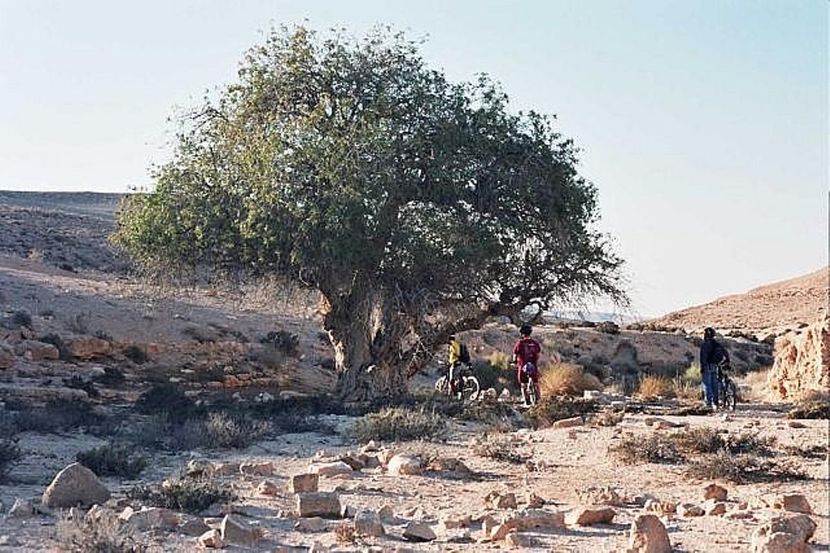 добрынин дерево ситтим фото грозит человеку при