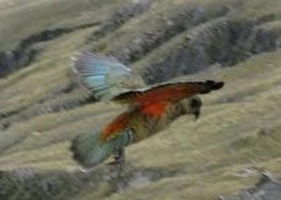 כשהיא פורסת כנפיים מתגלים הצבעים האמיתיים.