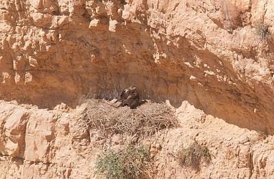 עיט ניצי מקנן מעל הגב - ישנם כ-5 עופות ממין זה בכל הארץ!