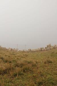 כבשים בערפל