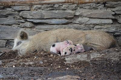 כמויות החזירים בגיאורגיה הן אינסופיות.....