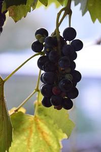 הענבים הכי טעימים בעולם (בבית של נאטו)