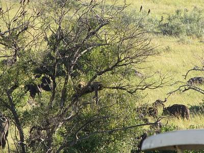 נמר נח על העץ
