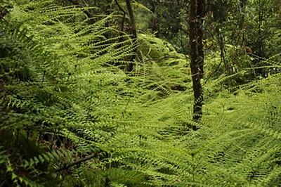 רצפת היער מכוסה בשרכים