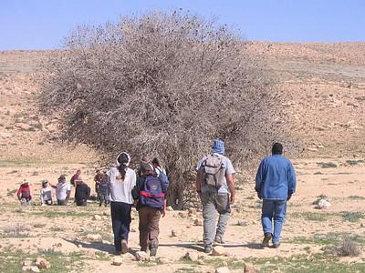 עץ אלה אטלנטית בדרך