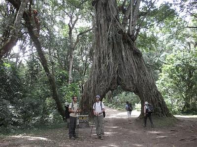 עץ תאנה ענק שנפתח לשער - אטרקציה קטנה בדרך