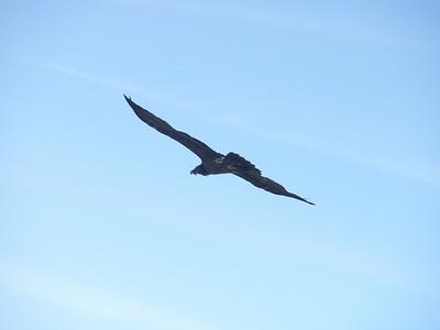 החיים היחידים שאפשר לראות - עוף דורס ענק מחפש טרף או מטפס עייף...