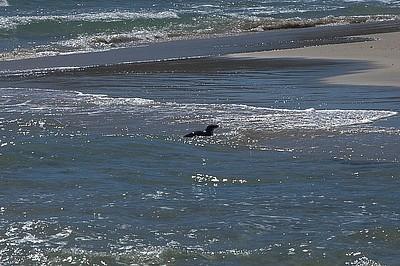 פינגווין מגיע בשחייה בזמן הפסקת צהריים..