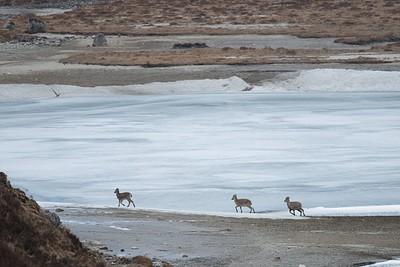 שלושה Blue Sheep ליד האגם