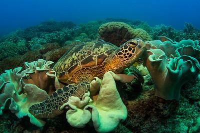 צב גדול נח בין האלמוגים ולא מאוד מתרשם מהנוכחות של