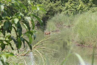 טיגריס חוצה את הנחל!
