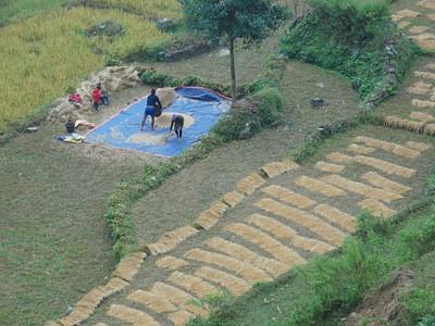 ככה קוצרים ואוספים אורז בנפאל