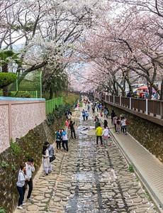 פסטיבל פריחת הדובדבן ב-Jinhae