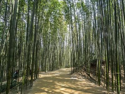 חורשת הבמבוק בגאנגג'ין