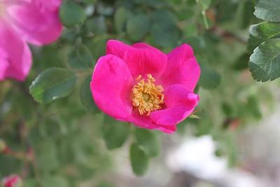 ורד בר בנחל