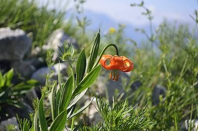 הפרח שמור שמיוחד לאיזור זה בסלובני