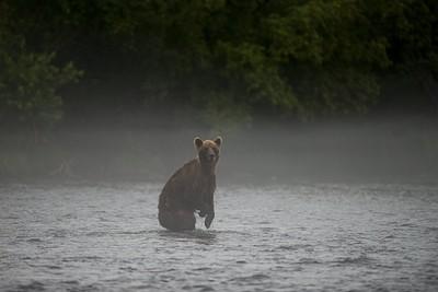 דוב מחופד לקנגורו בבוקר ערפילי על הנהר