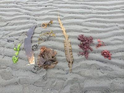 אוסף חלקי של מגוון האצות בחוף