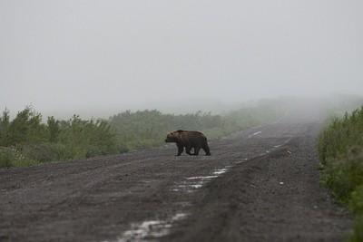 דב חוצה את הכביש על הכביש לחוף המערבי
