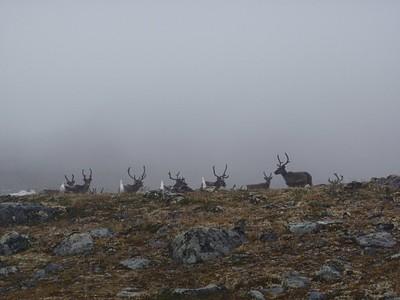 להקת איילי הצפון