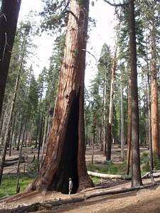 עצי הסקויה