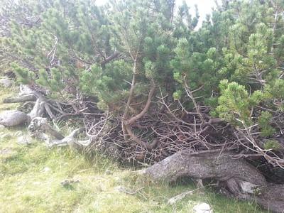 אורן הררי נמוך (mugo Pinus)
