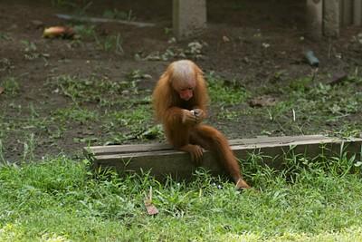 אחד הקופים הקטנים שאוהבים לשחק (מהסוג המכוער)