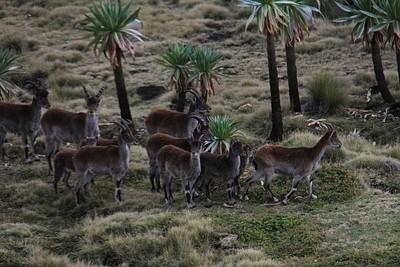 Walia ibex ליד צ׳אנק