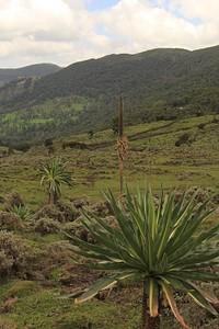 הצמחייה האפרו אלפינית, לובליה ענקית היום השלישי