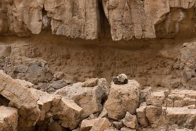 גורי שפני סלע יונקים, בנחל חתירה