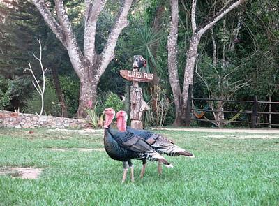 תרנגולות הבית ב- CLARISSA FALLS