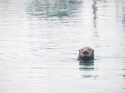 לוטרה-ימית בנמל של סיוורד - החיה עם הפרווה הצפופה בעולם.