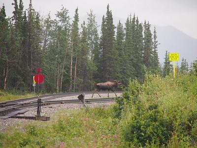 אייל קורא (moose) חוצה את פסי הרכבת. חיה מגניבה גדולה ומסוכנת