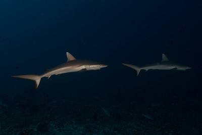 Gray reef sharks קטנים