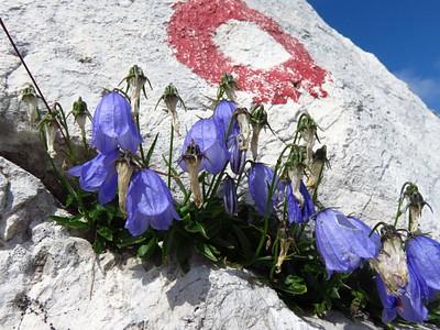 פרח פעמונית עם הסימון דרך
