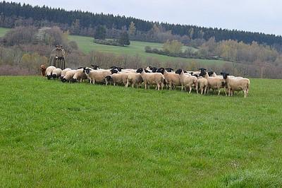 רועה הצאן שנסה לעזור