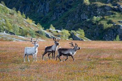 איילי צפון. העדרים בשמורה לא פראיים, ושייכים לסאמים שחיים בצפון