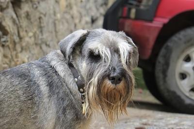 כלב פירנאי היפסטר