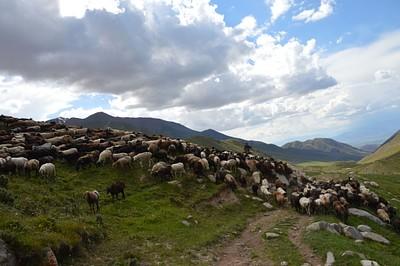 רועה צאן עם העדר בדרך למטה מהאגם