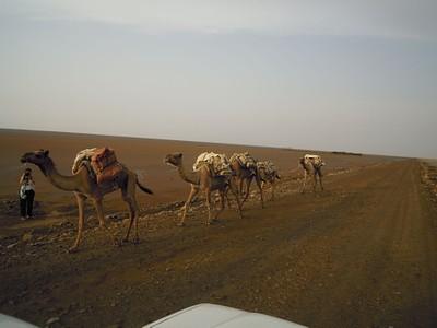 אורחת גמלים עם בלוקי מלח