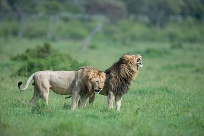 שניים משלושה אריות זכרים מרשימים באזור Oloololo