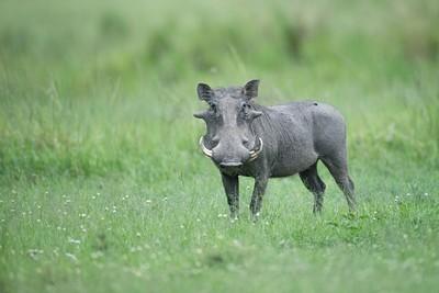 חזיר יבלות