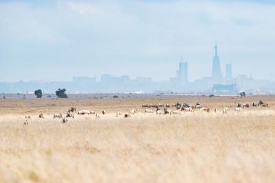 עדר גנו על רקע העיר ניירובי
