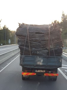 עצי שעם בדרכם לעיבוד במפעל