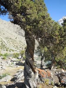 עץ ערער