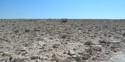 להקת יעלים ליד מצפה רמון