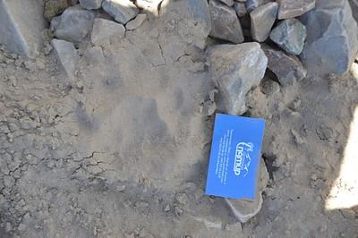 """עקבות נמר שלג- זכר בוגר (הכרטיס באורך 10 ס""""מ) מצאנו אותם בתצפית על הקרחונים"""
