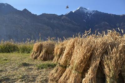 קציר חיטה בכפר פסור