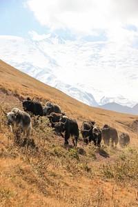 עדר יאקים על רקע הר לנין