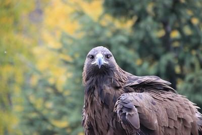 עוף דורס (מבויית) שהסתובב עם קבוצת קירגיזים בשער הכניסה לשמור
